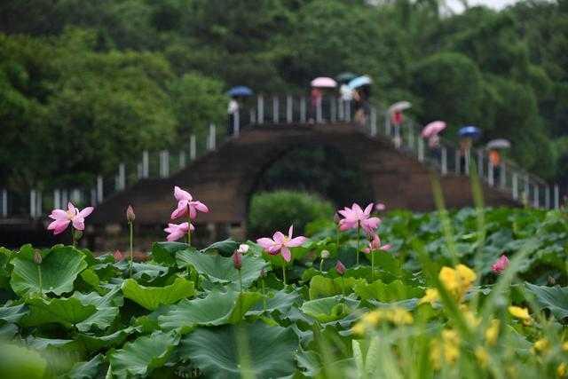 福州:雨荷(圖)