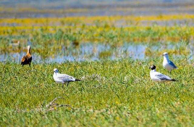 『自然』内蒙古:候鸟安居鄂尔多斯湿地(图)